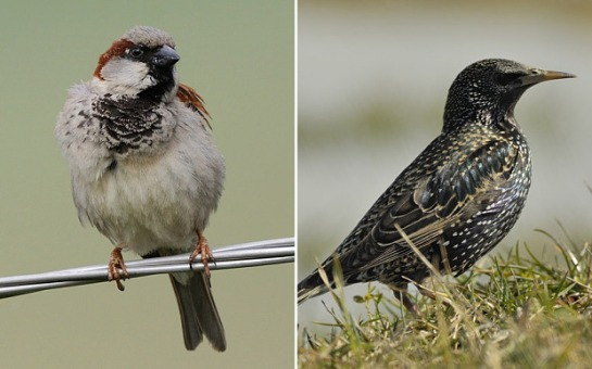 House sparrows and starlings are among the worst hit species Photo: Tomas Belka/birdphoto.cz/University of Exeter/PA