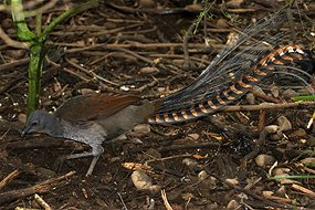 In reducing fire risk, lyrebirds protect their favoured habitat of an open forest floor, say researchers (CSIRO)