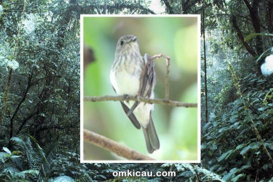The Sulawesi streaked flycatcher (Muscicapa sodhii). Image credit: © Martin Lindop.