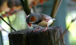 Bad parenting could give zebra finches the evolutionaryedge
