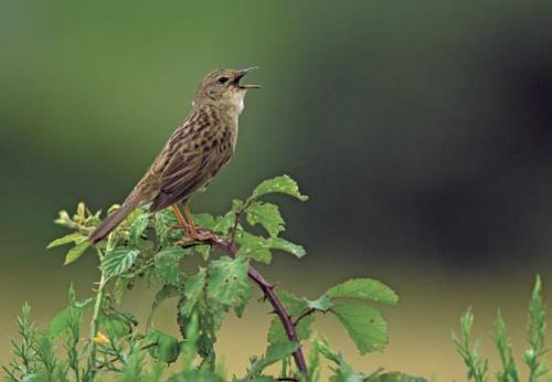 Scientists may be able to glean important insights from the genes of songbirds.