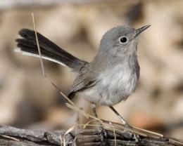 Drought causes birds to nest later, reducing nesting success