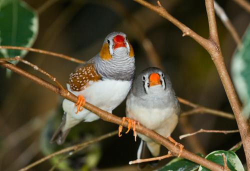 A pair of Zebra finches at Bird Kingdom, Niagara Falls, Ontario, Canada. Credit: Wikipedia