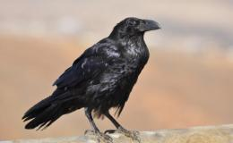 Bad reputation of crows demystified