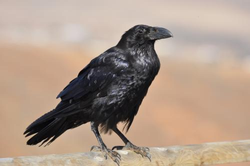 The 326 interactions between corvids and their prey, shows that they have a much smaller effect on other bird species than was previously thought. Credit: Jorge Piñeiro
