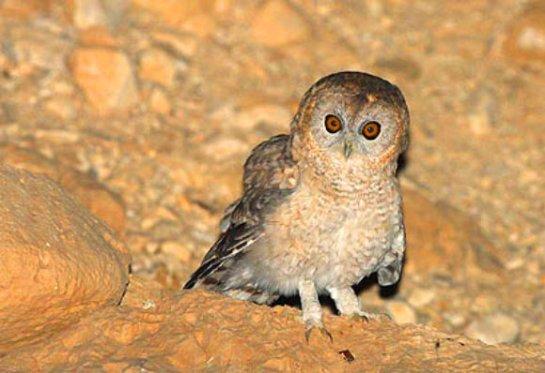 The Desert Tawny Owl (Strix hadorami). Image credit: © Rony Lybanah.